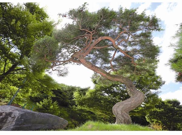 与郑明析牧师一起经历生死故事的月明洞杰作松树 3