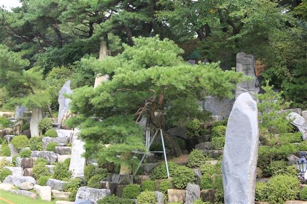 与郑明析牧师一起经历生死故事的月明洞杰作松树 2